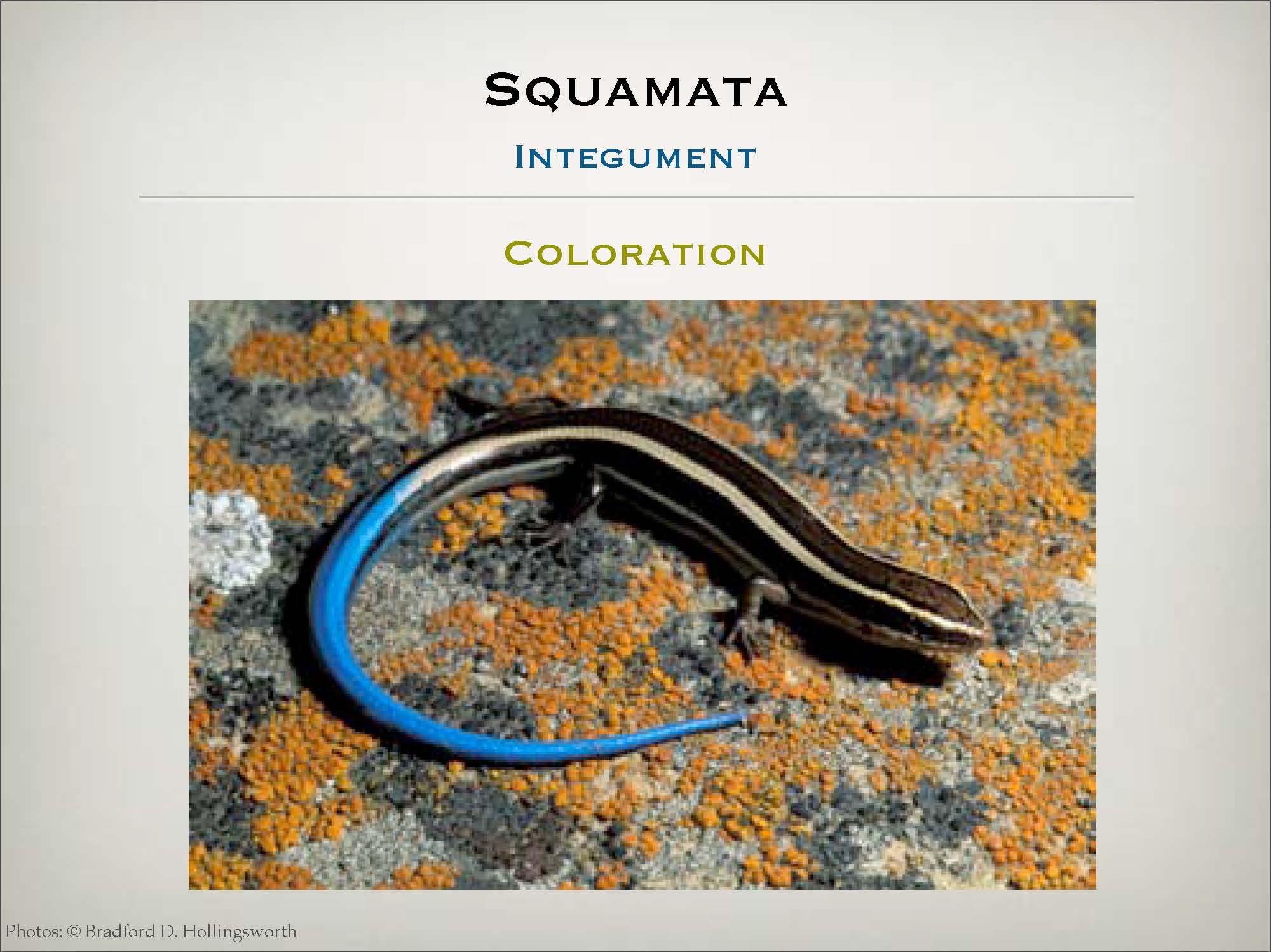 salamanders lizards